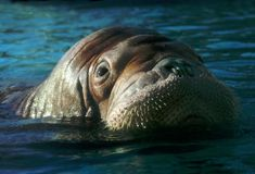 Walrus. Floats in water and looks Stock Photos