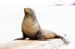 Walrus Stock Images