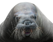 Walrus close-up isolated on white. Background Royalty Free Stock Photography