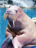 Walrus Close up Stock Photography