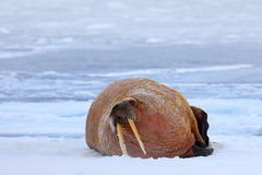 Walrus on cold ice with snow. Walrus, Odobenus rosmarus, stick out from blue water on white ice with snow, Svalbard, Norway. Winte Stock Photo