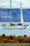 Walrus colony, Odobenus rosmarus, stick out from blue water on pebble beach, blurred boat, yacht, with mountain in background, Sva Stock Photography
