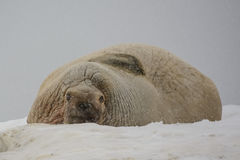 Walrus colony, Spitsbergen, Svalbard, Norway Royalty Free Stock Photo