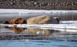 Walrus cow with cub Stock Photography