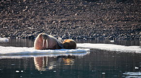 Walrus cow with cub Royalty Free Stock Photos