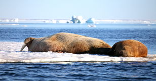 Walrus cow with cub Stock Photos