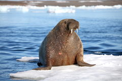 Walrus cow on ice floe. Franz Josef Land royalty free stock image