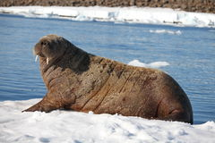 Walrus cow on ice floe Royalty Free Stock Image