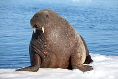 Walrus cow on ice floe. Franz Josef Land royalty free stock images