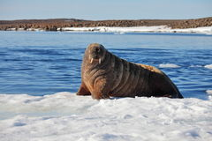 Walrus cow on ice floe Stock Photo