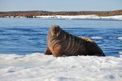 Walrus cow on ice floe Stock Photo