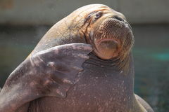 Walrus detail Stock Photography