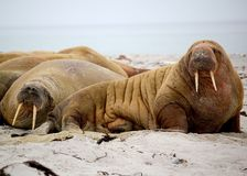 Walrus. Family on the beach Royalty Free Stock Photo