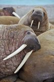 Walrus family haul out Stock Photos