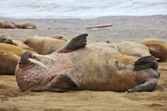 Walrus family haul out. Russian Arctic Stock Photo