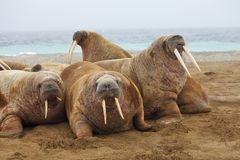 Walrus family haul out. Russian Arctic Royalty Free Stock Photography