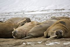 Walrus family haul-out Stock Image