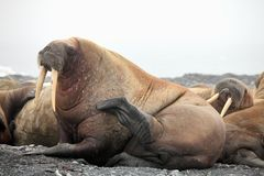 Walrus family haul-out. Atlantic walrus family haul-out - Russian Arctic stock photos