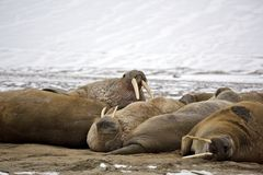 Walrus family haul out. Russian Arctic Royalty Free Stock Photo