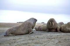 Walrus family haul-out. Walrus family haul out - Russian Arctic Stock Photo