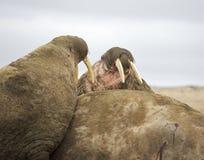 Walrus family haul-out. Walrus family haul out - Russian Arctic Royalty Free Stock Photo