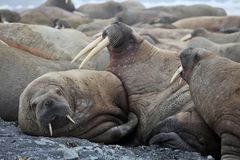 Walrus family haul out. Russian Arctic royalty free stock image