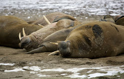 Walrus family Stock Photography