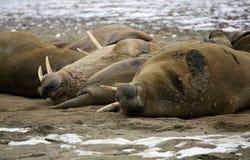 Walrus family. Walrus rookery on the beach - Franz Josef Land archipelago, Russian Arctic Stock Photography