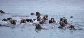 Walrus family in the sea Stock Photography
