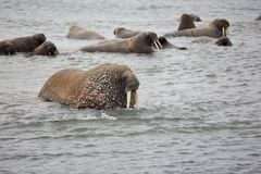 Walrus family in the sea. Atlantic walrus haul-out in the Barents Sea in Arctic Royalty Free Stock Photo