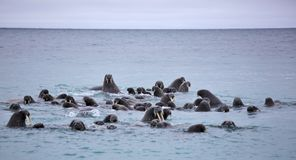 Walrus family in the sea. Walrus rookery - beach of Barents Sea in Arctic Stock Image