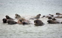 Walrus family in the sea. Walrus rookery - beach of Barents Sea in Arctic Royalty Free Stock Image