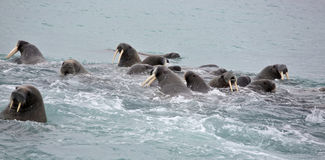 Walrus family in the sea. Walrus rookery - beach of Barents Sea in Arctic Royalty Free Stock Photos