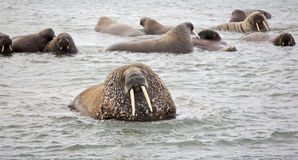 Walrus family in the sea Stock Image