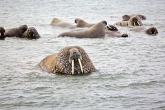 Walrus family in the sea. Walrus rookery - beach of Barents Sea in Arctic Stock Images