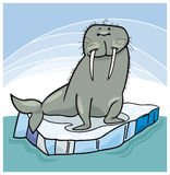 Walrus on floating ice Royalty Free Stock Image