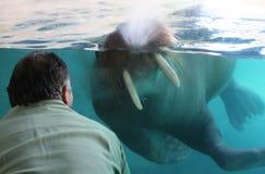 Walrus (Focus on walrus) Stock Image