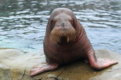 Walrus. Getting out of water Royalty Free Stock Photos