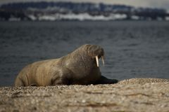 Walrus with half-closed eyes on shingle beach Stock Photography