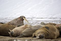 Walrus haul-out. On the beach - Franz Josef Land archipelago, Russian Arctic Royalty Free Stock Photos
