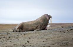 Walrus on the beach Royalty Free Stock Photos