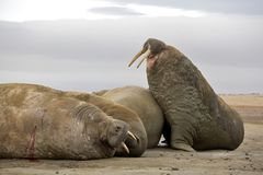 Walrus haul-out. On the beach - Franz Josef Land archipelago, Russian Arctic Royalty Free Stock Image