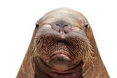 Walrus Head Over White Stock Images