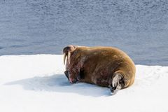 Walrus on ice. Walrus on the pack ice north of Spitsbergen Island, Svalbard, Norway, Scandinavia, Europe stock photo