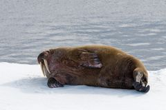 Walrus lying on the pack ice north of Spitsbergen Island. Svalbard stock images