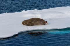 Walrus lying on the pack ice north of Spitsbergen Island. Svalbard royalty free stock photography