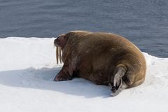 Walrus lying on the pack ice north of Spitsbergen Island, Svalbard. Norway, Scandinavia stock images