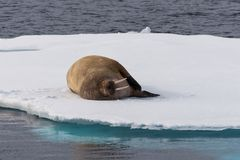 Walrus lying on the pack ice north of Spitsbergen Island, Svalbard. Norway, Scandinavia royalty free stock image