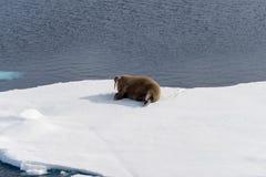 Walrus lying on the pack ice north of Spitsbergen Island, Svalbard. Norway, Scandinavia stock photo