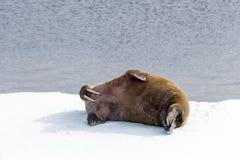 Walrus lying on the pack ice north of Spitsbergen Island, Svalbard. Norway, Scandinavia stock image
